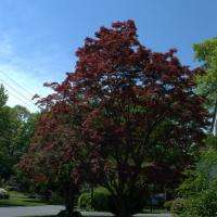 Red Maple V