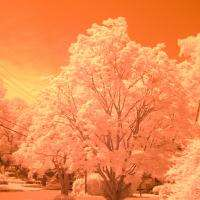 Red Maple IR