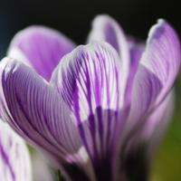 Striped Crocus 2