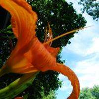 Day Lilly to the Sky