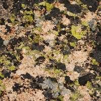 Lichen covered
