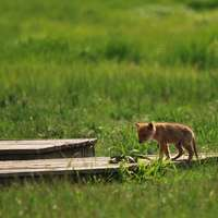 Baby Coyote 4