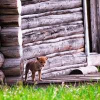 Baby Coyote 3