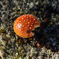 Power Mushroom